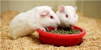 image: Guinea Pigs to Model Ebola Spread