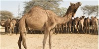 image: Camels' Role in MERS Contagion Questioned
