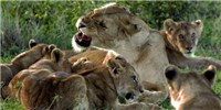 image: Image of the Day: Ailing Lions