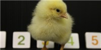 image: Counting Chicks?