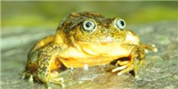 image: Image of the Day: New Peruvian Amphibian
