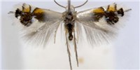 image: Image of the Day: Migratory Moth