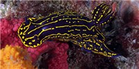 image: Image of the Day: Nifty Nudibranch