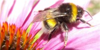 image: Forgetful Bees Try Novel Flowers