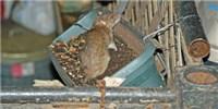 image: NYC Rats Harbor Plague Fleas