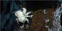 image: Image of the Day: Hoff Crabs