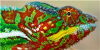 image: How Chameleons Change Colors
