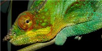 image: Chameleon Colors