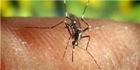 image: Dengue-Targeting T Cells Home to Skin