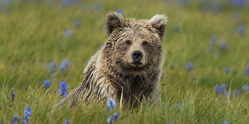 """Yeti"" Just a Himalayan Bear? | The Scientist Magazine® Himalayan Brown Bear Yeti"