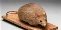 image: Fat Injection Slims Obese Mice
