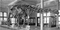 image: <em>Brontosaurus</em> Regains Dinosaur Status