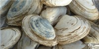image: Clam Cancer Rips Along Atlantic Coast