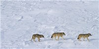 image: Image of the Day: Dwindling Wolves