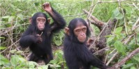 image: Judge to Stony Brook: Justify Keeping Research Chimps
