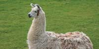 Llamas as Lab Rats