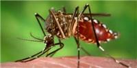 image: Mosquitoes Play Genetic Favorites