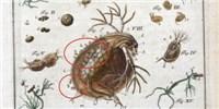 image: Water Fleas, 1755