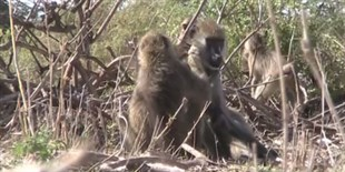 image: Grooming Baboons