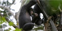 image: Tippling Chimps Caught in the Act