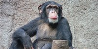 image: Captive Chimps Endangered, Too