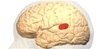 image: New Human Brain Language Map