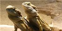image: Lizard Swaps Mode of Deciding Its Sex