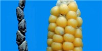 image: Small Genetic Change Yields Edible Corn