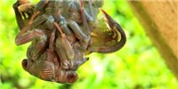image: Image of the Day: Molting Cicada