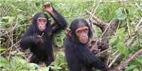 image: Judge: Chimps Are Not Legal Persons