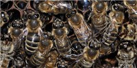 image: Phytochemical Helps Differentiate Workers from Queen Bees