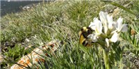 image: Bumblebee Tongues Growing Shorter