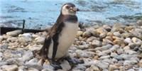 image: Imperiled Penguins