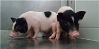 image: Gene-Edited Pets