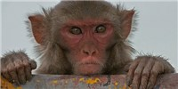 image: Optogenetics Advances in Monkeys