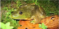 image: Frog Microbes May Help Fight Disease