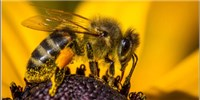 image: Buzzed Honeybees
