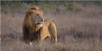 image: Lions Declining in Africa