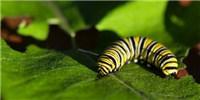 image: Butterflies Weaponize Milkweed Toxins