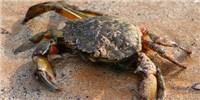 image: Stressed Shore Crabs