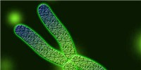 image: Another Telomere-Regulating Enzyme Found