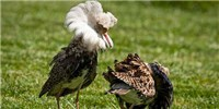 image: Supergene Explains Ruff Mating