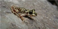 image: Fighting Chytrid Fungus