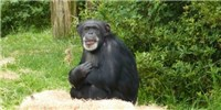 image: Retirement for All NIH Chimps