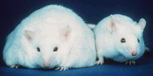 Inside a Lab Mouse's High-Fat Diet