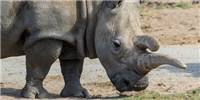 image: Image of the Day: Rhino Decline