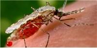 image: CRISPR-Powered Malaria Mosquito Gene Drive