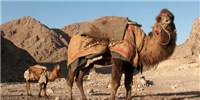 image: MERS Vax Tested in Camels
