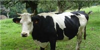 image: GM Calves Move to University
