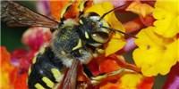 image: US Wild Bee Populations Waning